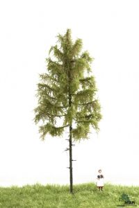 51-4302 Forest Larch